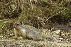 哥伦比亚地松鼠 免版税库存图片