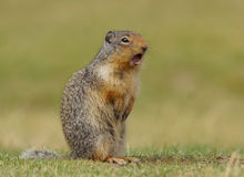 哥伦比亚地松鼠- Urocitellus columbianus 免版税图库摄影