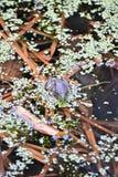 哥伦比亚察觉了青蛙 库存图片