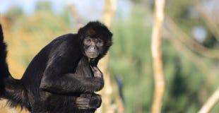 哥伦比亚猴子蜘蛛凝视 库存照片