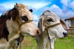 哥伦比亚的母牛 免版税库存图片