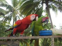 哥伦比亚的金刚鹦鹉 库存图片