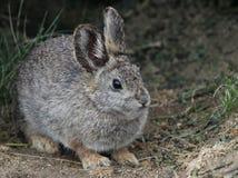 哥伦比亚盆地侏儒兔子 库存照片
