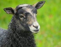 哥得兰岛产小羊 免版税库存照片