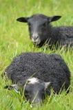 哥得兰岛羊羔 库存图片