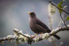 哥斯达黎加煤烟灰罗宾画眉类nigrecens鸟  库存图片