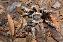 哥斯达黎加的斑马塔兰图拉毒蛛 库存照片