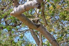 哥斯达黎加的绿色鬣鳞蜥 免版税库存照片