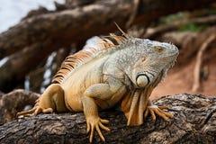 哥斯达黎加Tortuguero鬣鳞蜥 免版税库存照片