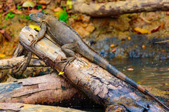 哥斯达黎加动物区系 免版税库存照片