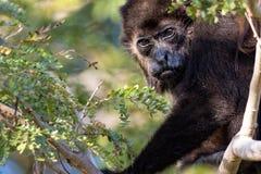 哥斯达黎加吼猴 免版税库存图片