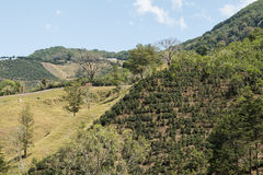 哥斯达黎加咖啡种植园农场 库存照片