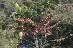 哥斯达黎加咖啡豆 库存图片