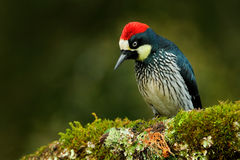从哥斯达黎加山森林的啄木鸟,橡子啄木鸟, Melanerpes formicivorus 美丽的鸟坐绿色mosse 库存照片