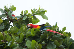 哥斯达黎加猩红色金刚鹦鹉 免版税库存照片