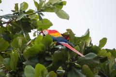哥斯达黎加猩红色金刚鹦鹉 库存照片