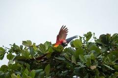 哥斯达黎加猩红色金刚鹦鹉 免版税图库摄影