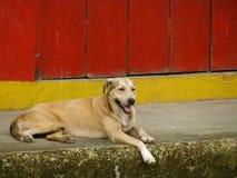 哥斯达黎加的小狗 免版税库存照片