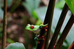 哥斯达黎加的青蛙 图库摄影