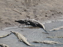 哥斯达黎加的鳄鱼 免版税库存照片