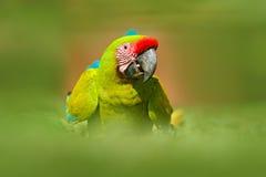 从哥斯达黎加的鹦鹉 野生鹦鹉鸟,绿色鹦鹉伟大绿的金刚鹦鹉, Ara ambigua 野生稀有人物在自然栖所 绿色 免版税库存照片