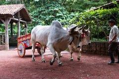 哥斯达黎加的黄牛推车 免版税图库摄影