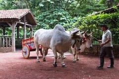 哥斯达黎加的黄牛推车 免版税库存照片