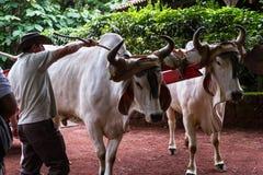 哥斯达黎加的黄牛推车 库存照片
