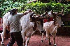 哥斯达黎加的黄牛推车 免版税库存图片