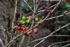 哥斯达黎加红色和绿色咖啡豆 库存照片