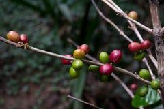 哥斯达黎加红色和绿色咖啡豆 库存图片