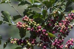 哥斯达黎加红色和绿色咖啡豆 图库摄影