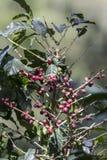 哥斯达黎加红色和绿色咖啡豆 免版税库存照片