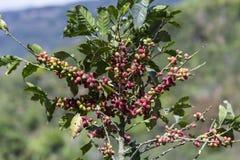 哥斯达黎加红色和绿色咖啡豆 免版税库存图片