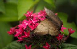 哥斯达黎加蝴蝶 库存图片