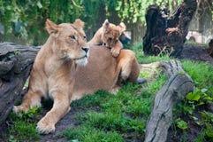 哥本哈根,丹麦- 2017年8月:母狮子和崽在哥本哈根动物园 免版税库存图片