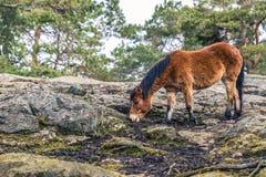 哥特人,瑞典- 2017年4月15日:一匹马在Slottskogen公园 库存图片