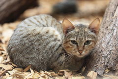 哥顿的野生猫 免版税库存照片