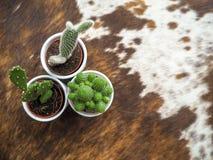 哪些的三棵小仙人掌植物品种两仙人掌的、亦称仙人掌和一echinopsis在白色罐 库存图片