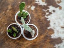 哪些的三棵小仙人掌植物品种两仙人掌的、亦称仙人掌和一echinopsis在白色罐 免版税库存照片