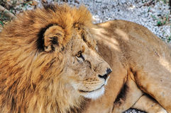哭号的公狮子 库存照片