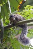 哭号的巨型灰鼠Ratufa 免版税库存照片