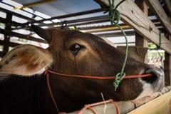 哭泣在卡车的母牛:悲伤,恐惧 免版税库存图片