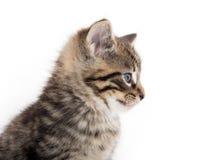 哭泣在白色的逗人喜爱的平纹小猫 免版税图库摄影