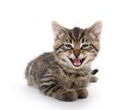 哭泣在白色的逗人喜爱的平纹小猫 免版税库存照片