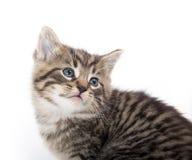 哭泣在白色的逗人喜爱的平纹小猫 库存照片