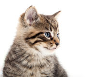 哭泣在白色的逗人喜爱的平纹小猫 图库摄影