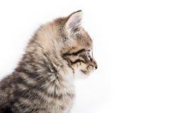 哭泣在白色的逗人喜爱的平纹小猫 免版税库存图片