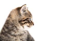 哭泣在白色的逗人喜爱的平纹小猫 库存图片