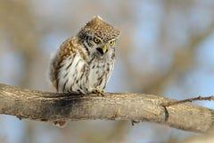 哭泣春天矮小的猫头鹰栖息和 库存照片